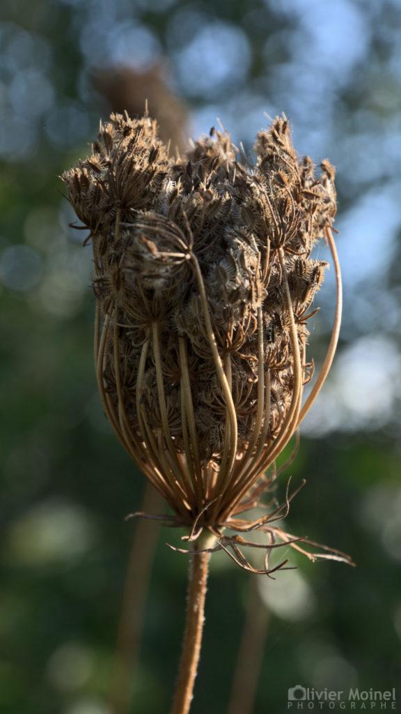 Fleur de Carotte sauvage