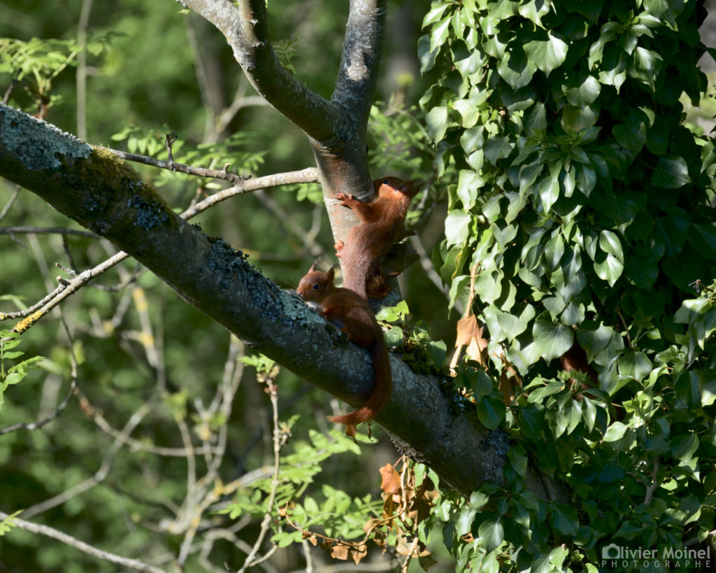 Deux jeunes écureuils jouent dans le branchage d'un frêne