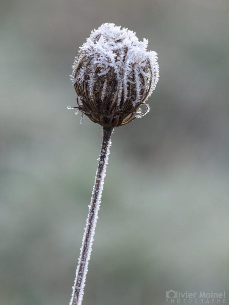 Fleur de Carotte sauvage coiffée par le givre