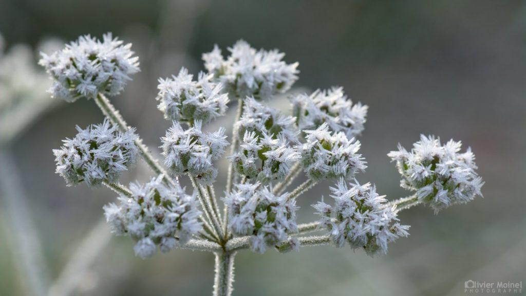 Fleur de Panais sauvage recouverte de givre...