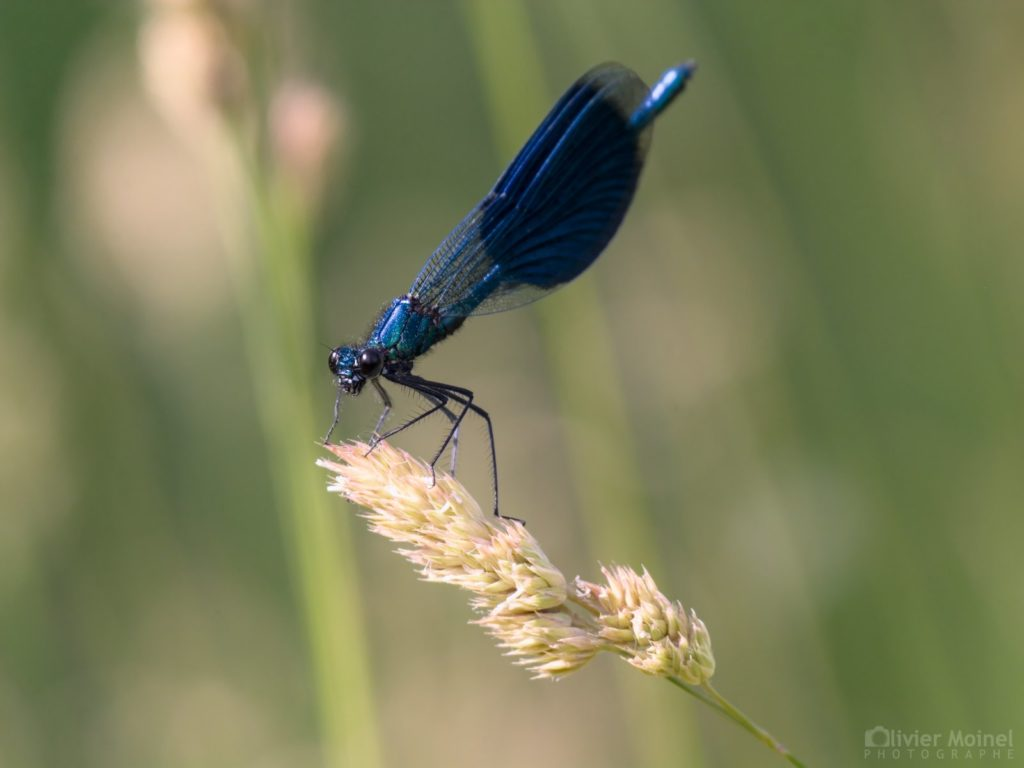 Caloptéryx éclatant (mâle)